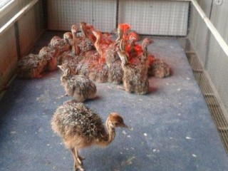 2 To 3 Months Old Ostrich Chicks for Sale