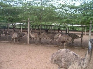 Fertile Emu Eggs and Chicks for Sale