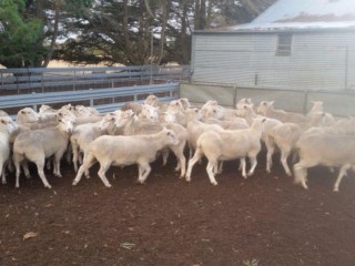 Merino ewes and lambs available on special