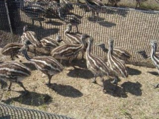 Emu chicks and breeding pairs for sale