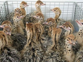 Emu chicks for sale